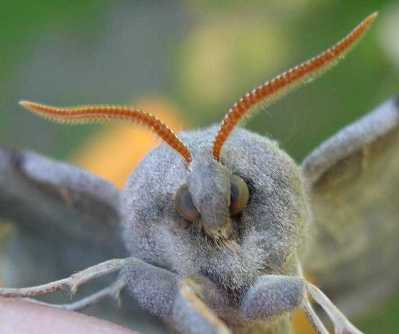 face of a Hawk Moth